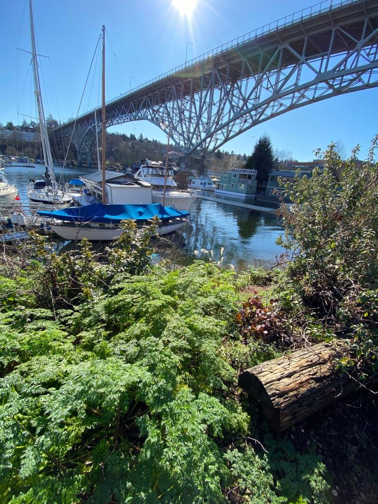 Poison-hemlock by the water in Seattle