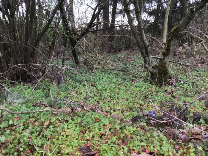 Shiny geranium infestation near Soos Creek