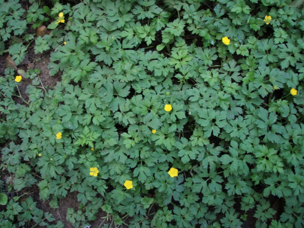 Creeping buttercup patch