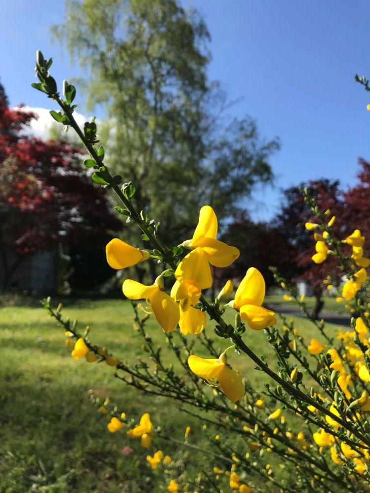 Scotch broom with flowers