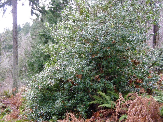 English holly in a forest