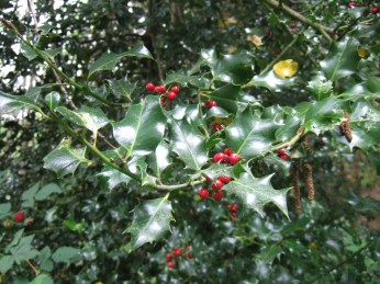 English holly with berries