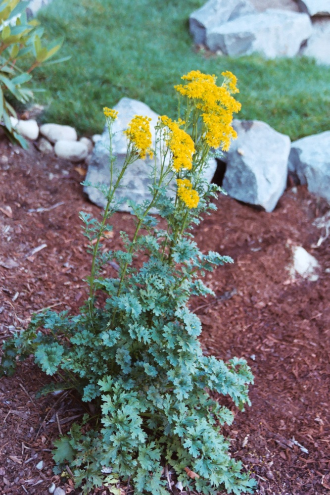 Tansy ragwort plant in flower
