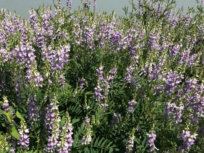 goatsrue plants in flower