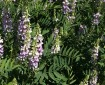 goatsrue flowers and leaves