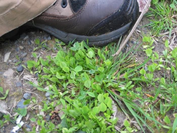 Goatsrue seedlings by show