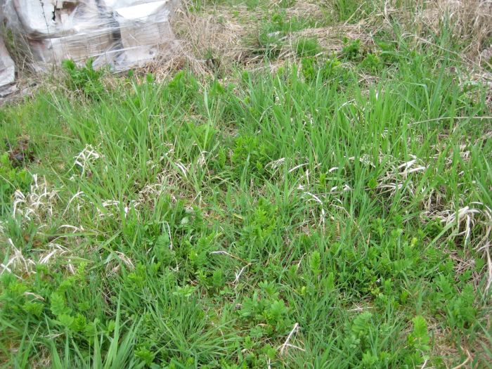 goatsrue seedlings in the grass