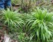 false brome plants