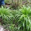 false brome plants