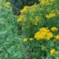 large tansy ragwort plants with person in the background