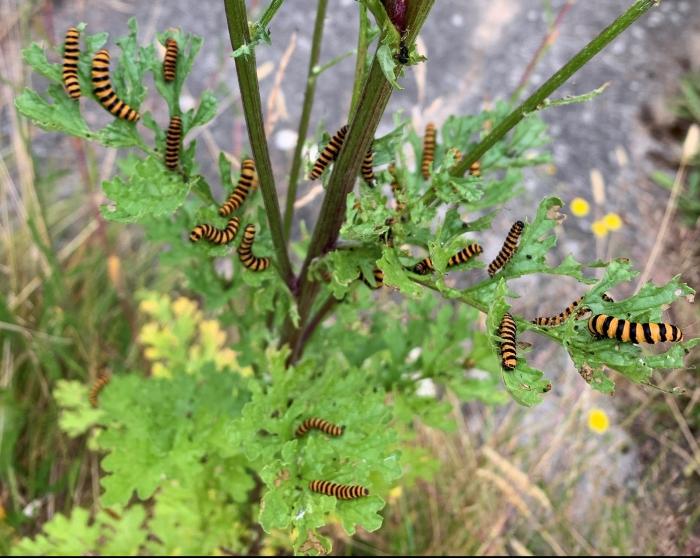 cinnabar caterpillars on a tansy ragwort plant