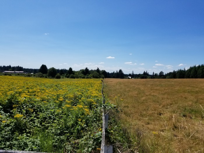 field of tansy ragwort and a hay field separated by a fence