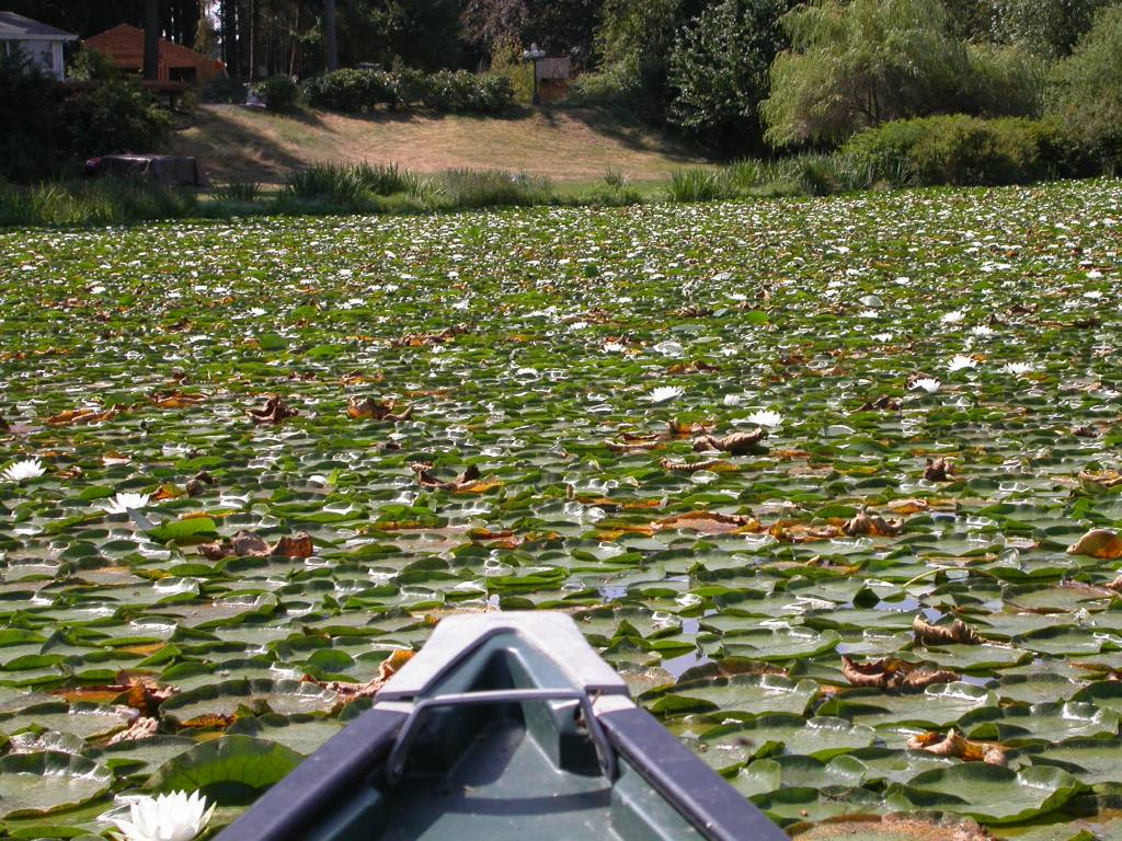 fragrant water lily plants on a lake