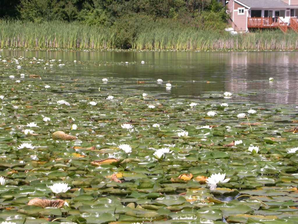 Fragrant water lily blossoms