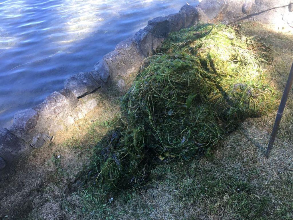 pile of Eurasian watermilfoil