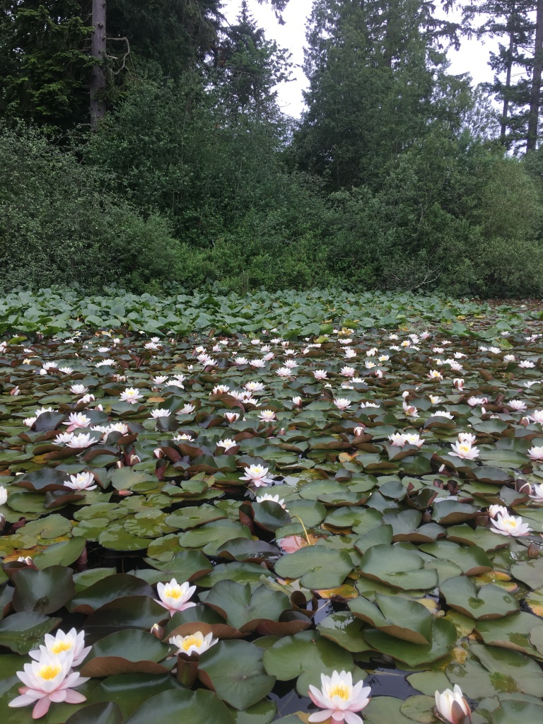 dense growth of fragrant water lily