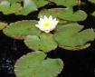 fragrant water lily leaves and flower
