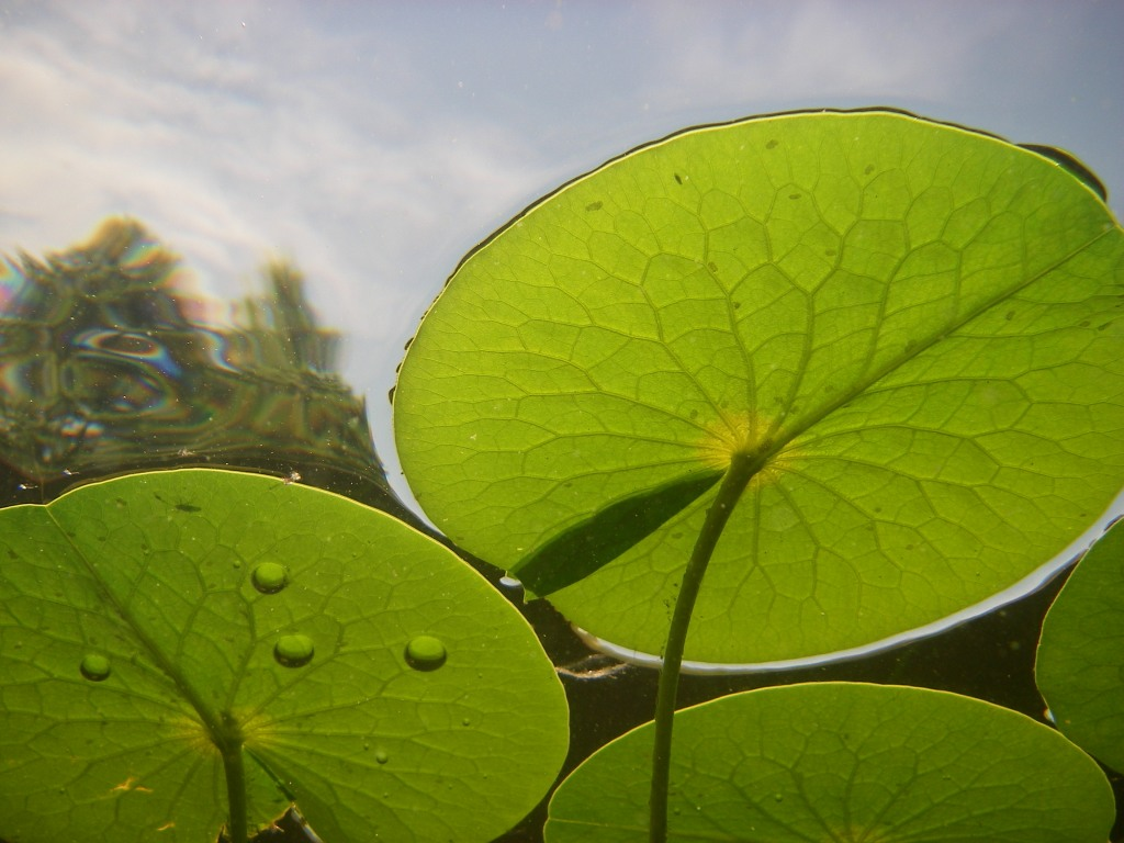 Fragrant water lily leaves seen from under water