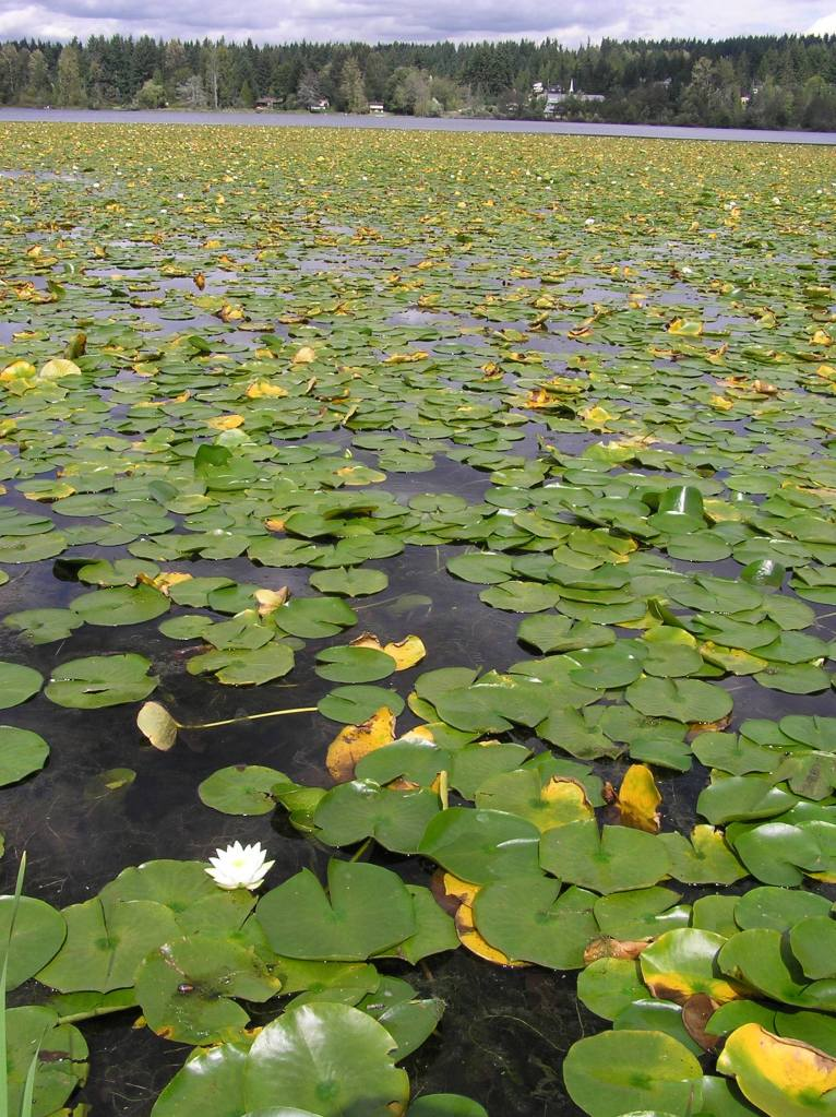 fragrant water lily on a lake
