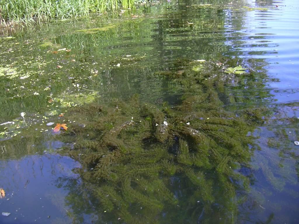 Egeria densa in water