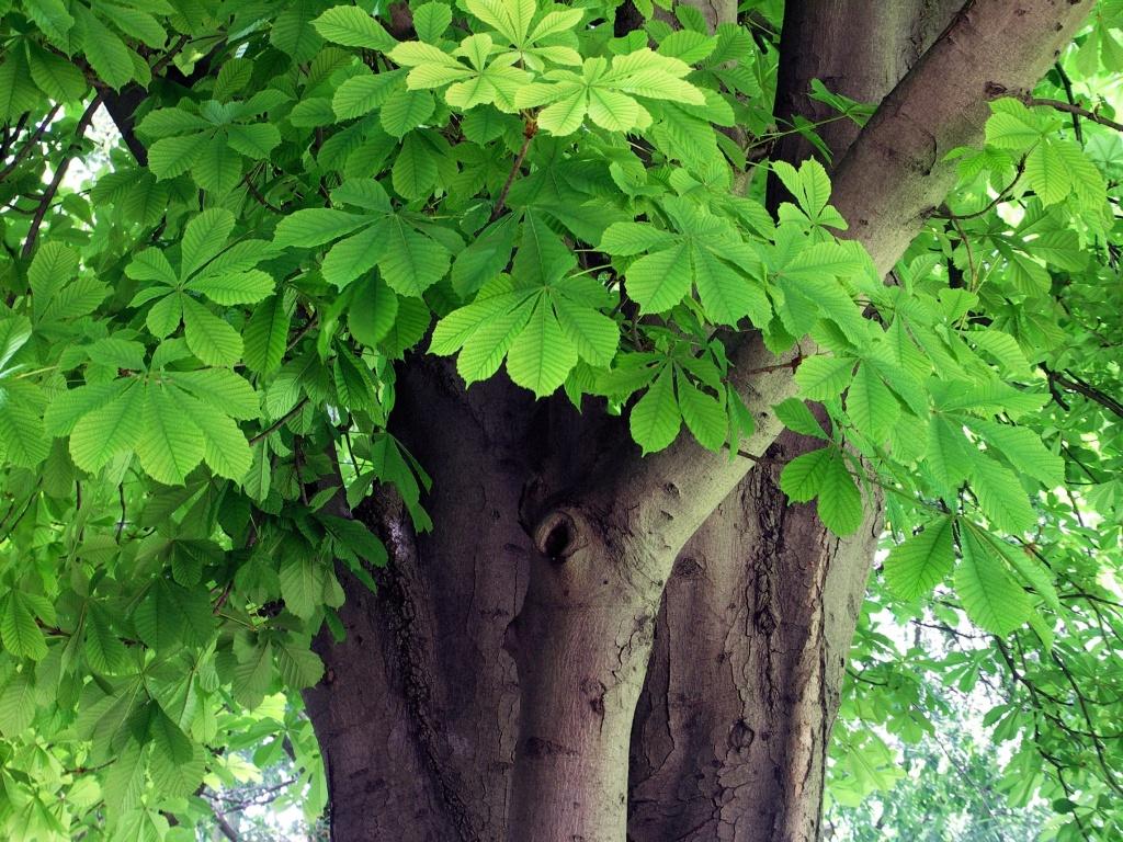 horse-chestnut tree