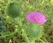 bull thistle flower and bud