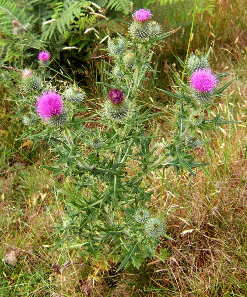bull thistle plant in flower