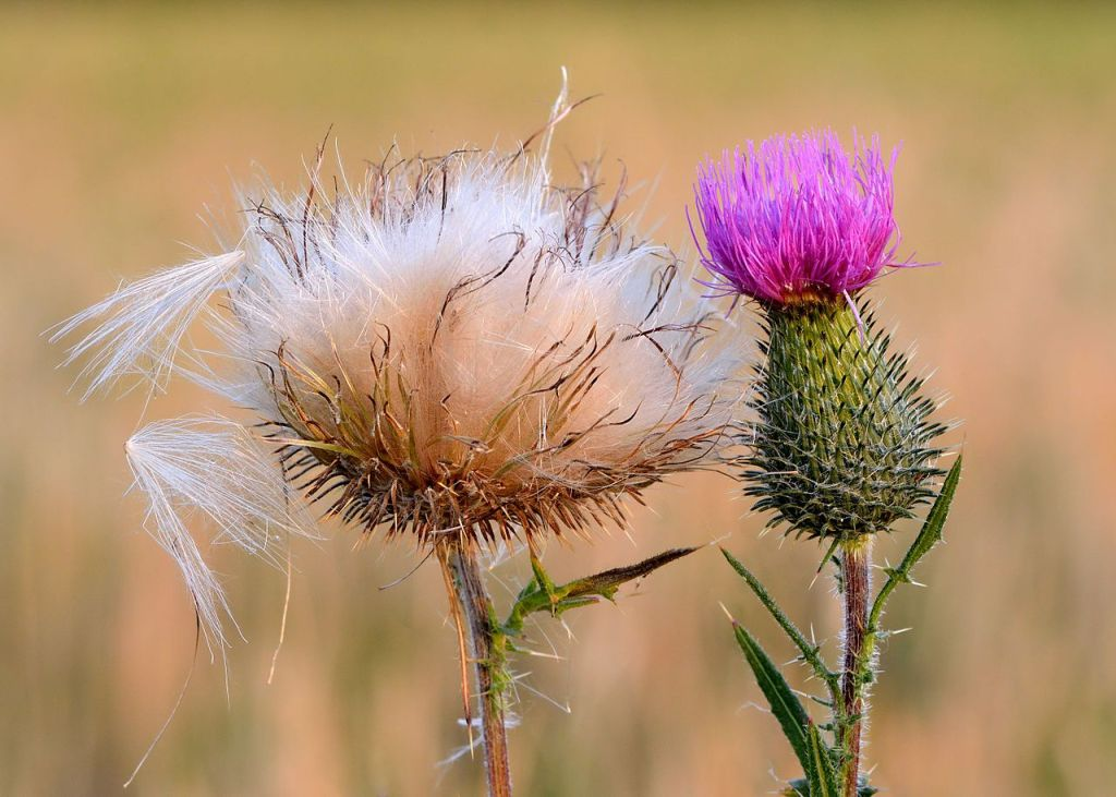 seedhead and flowerhead of a bull thistle plant