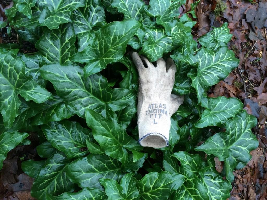 Italian arum (Arum Italicum)