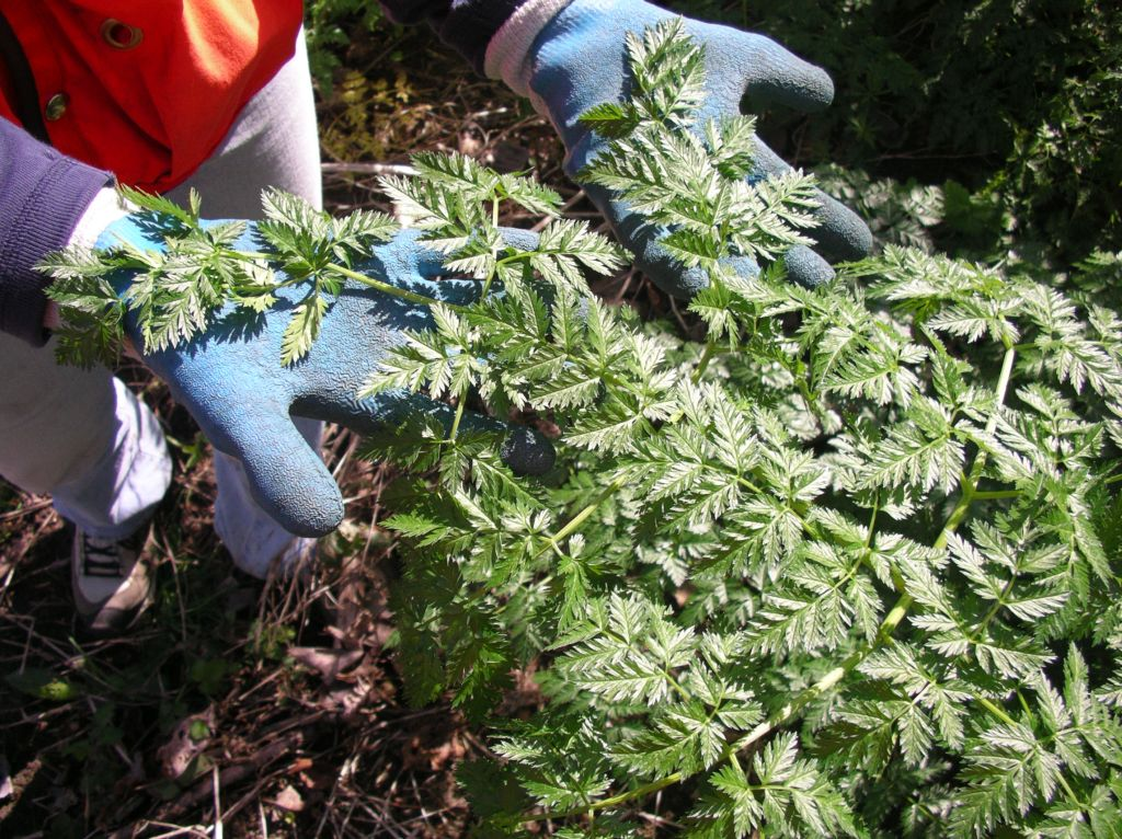 A person wearing gloves is lifting the leaves of poison hemlock which are similar to carrot leaves