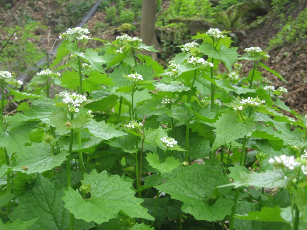 Garlic mustard has kidney shaped leaves with serrated edges and small white flowers at the tops of stems