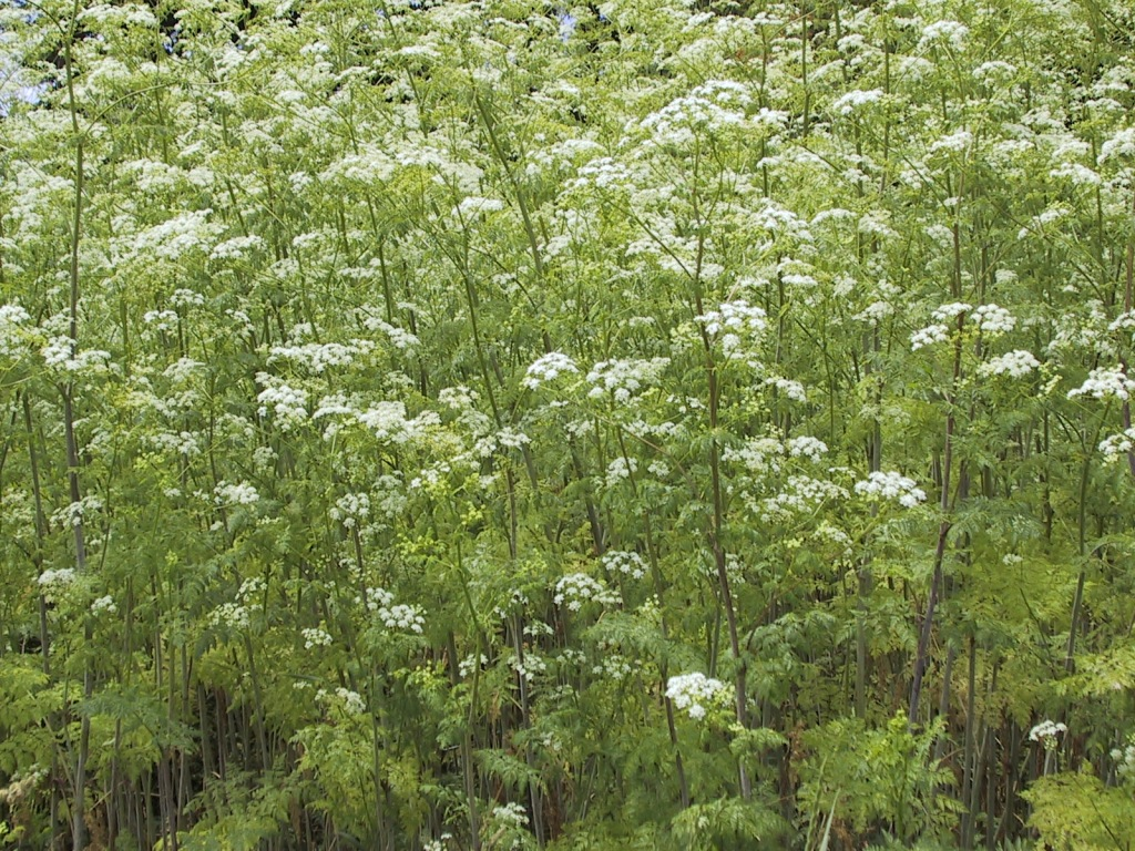 A photo of a poison hemlock infestation showing many poison hemlock plants with flower clusters