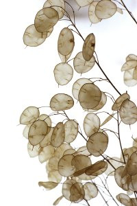 A photo of lunaria seed pods which are flat and oval