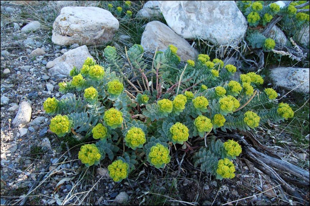Myrtle spurge (Euphorbia myrsinites)