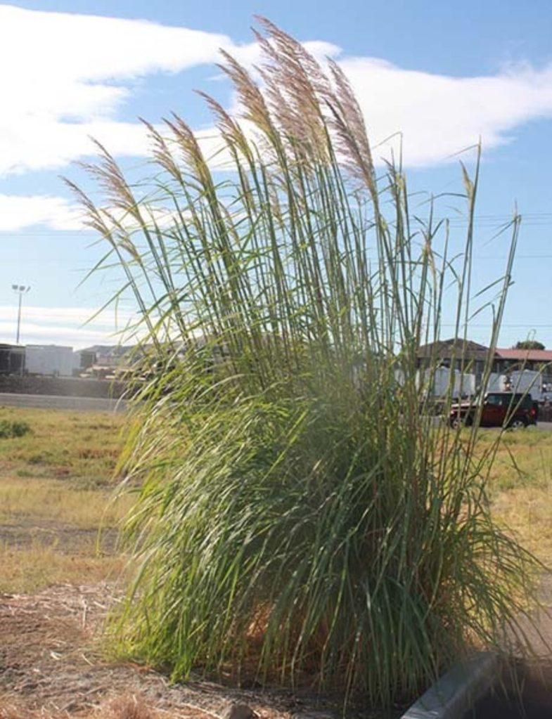 Ravenna grass (Tripidium ravennae)