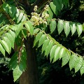 Tree-of-heaven (Ailanthus altissima)