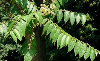 Tree-of-heaven (Ailanthus altissima)