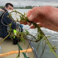 Egeria stem being held by someone with a person in a canoe in the background