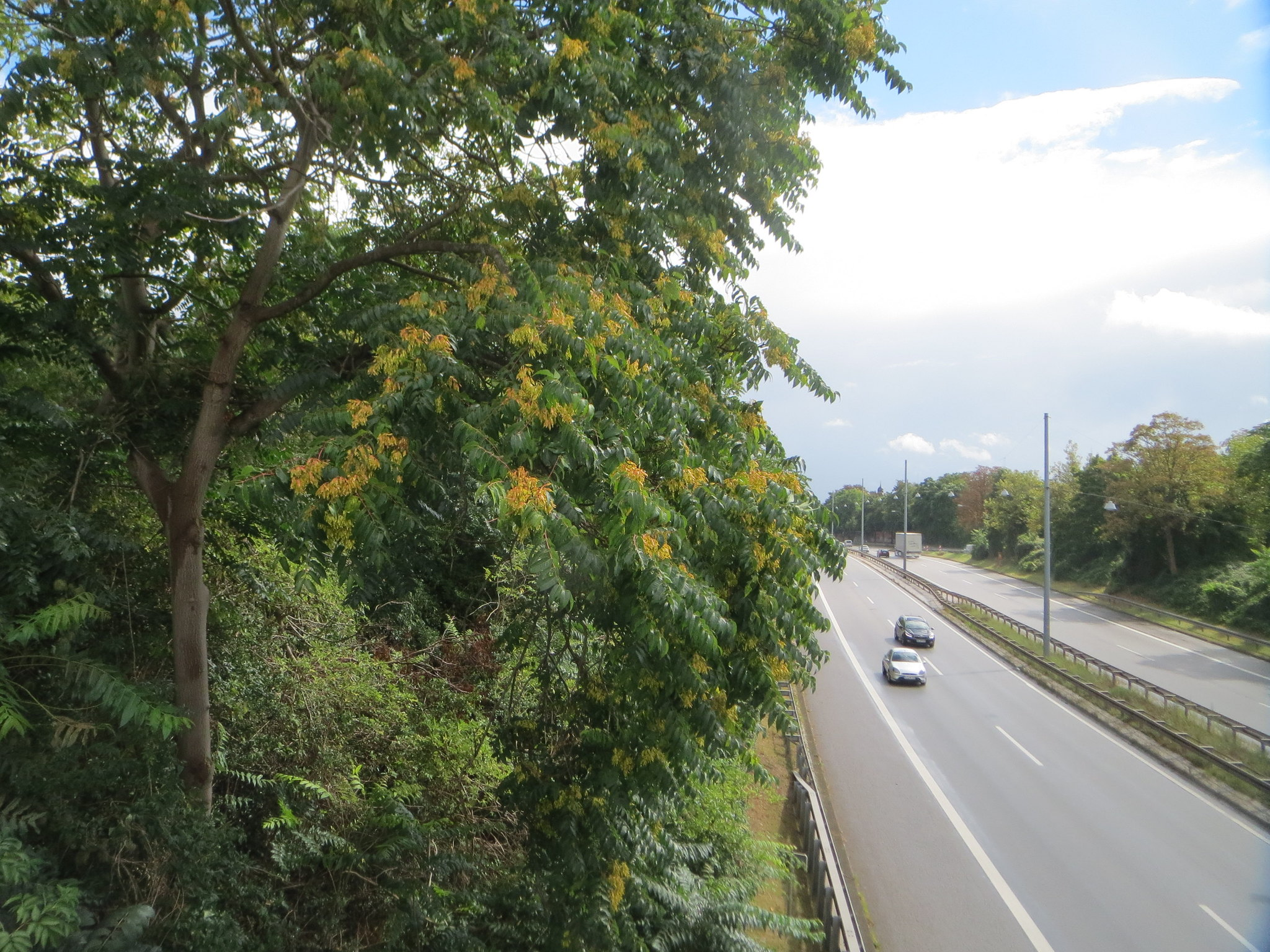 Tree-of-heaven, Ailanthus altissima, growing along a roadside. Photo by Andreas Rockstein CC2.0.