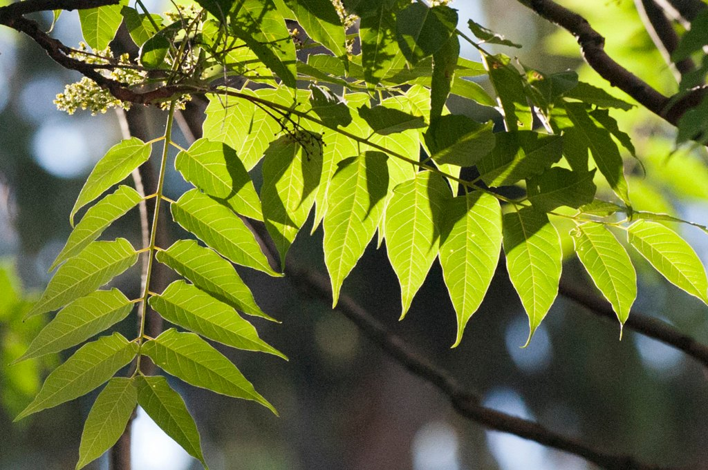 Tree-of-heaven leaves divided into many leaflets with smooth (entire) edges. Photo courtesy Penn State.