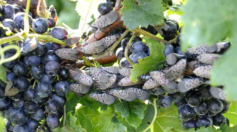 Spotted lanternfly, Lycorma delicatula, on a grape plant. Photo courtesy Chris Looney, WSDA.