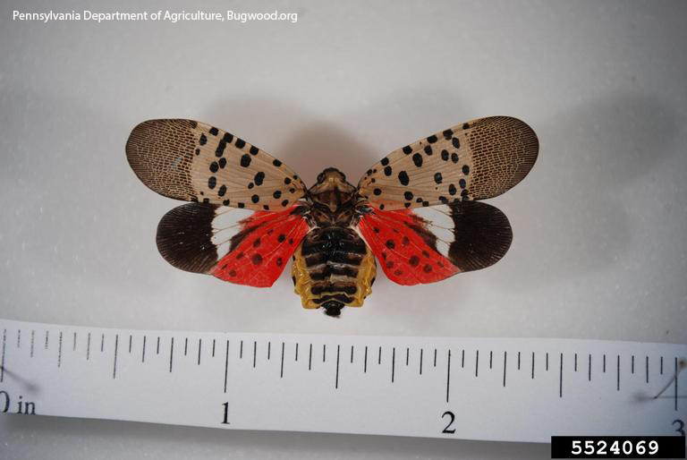 Spotted lanternfly adult. Pennsylvania Department of Agriculture.