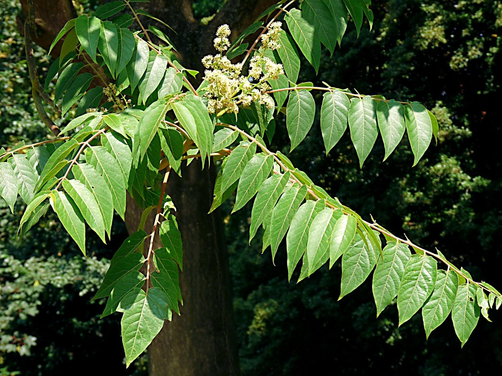Tree-of-Heaven leaves and flowers. Photo by Hornbeam Arts CC2.0